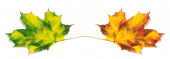 Two yellowed autumn maple leafs — Stock Photo