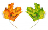 Yellowed autumn maple-leafs — Stock Photo