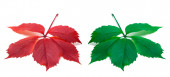 Red and green leaves (Virginia creeper leaf) — Stock Photo