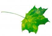 Yellowed maple leaf — Stockfoto