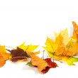 Autumn dry maple leafs isolated on white background — Stock Photo #55228743