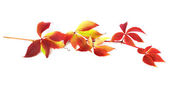 Branch of autumn grapes leaves (Parthenocissus quinquefolia foli — Stock Photo