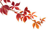 ветвь красных осенних листьев винограда — Стоковое фото