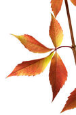Autumn grapes leaves (Parthenocissus quinquefolia foliage) — Stock Photo