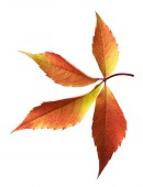 Autumn grapes leaf — Stock Photo
