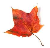 Podzimní červený javorový list — Stock fotografie