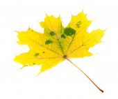Yellowed autumn maple-leaf — Stockfoto