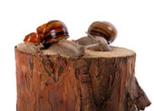 Snails family on pine-tree stump — Stock Photo