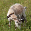 Goat grazing on meadow — Stock Photo #57756375