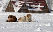 Two dogs rest on snow in ski resort — Stockfoto