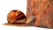 Pine tree and snail — Stock Photo