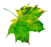 Green yellowed maple leaf — Stock Photo