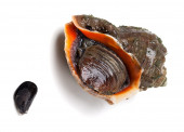 Veined rapa whelk and small mussel from Black Sea — Stock Photo