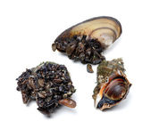 Veined rapa whelk and river mussels (anodonta) — Stock Photo