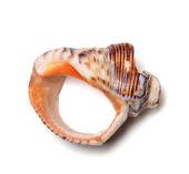 Empty broken rapana shell — Stock Photo