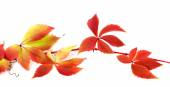 Red autumn branch of grapes leaves — Stock Photo
