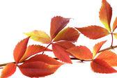 Gałązka jesiennych liści winogron (Winobluszcz quinquefolia foli — Zdjęcie stockowe