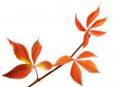 Orange autumnal twig of grapes leaves (Parthenocissus quinquefol — Stock Photo