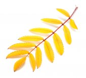 Yellow autumn rowan leaf on white background — Stock Photo