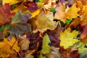 Autumn dry maple leafs — Stock Photo