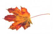 Red autumn maple-leaf — Stock Photo