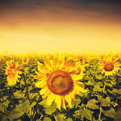 Beauty sunset over sunflowers field — Stock Photo