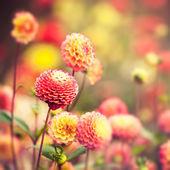 Flores dalia hermoso — Foto de Stock