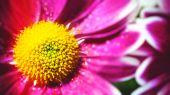 Background with gerbera flowers — Stock Photo
