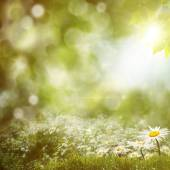 Summer noon background with daisy flowers — Stock Photo