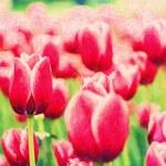 Purple tulips, fine art simulation — Stock Photo #67583463