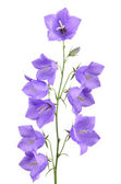 Bellflower stem — Foto de Stock