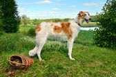 Borzoi dog — Stock Photo