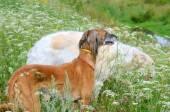 Saluki and Russian wolfhound — Stock Photo