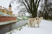 Two russian wolf hounds — Стоковое фото