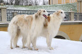 Two standing russian wolfhounds — Stock Photo