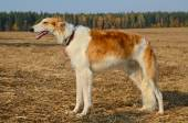 Russian wolfhound borzoi dog — Stock Photo
