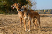 Brown Saluki or Kazakh greyhounds Tazi — Stock Photo