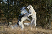 Two hunting russian wolfhounds — Stock Photo