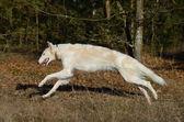 Running russian wolfhound dog — Stock Photo