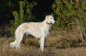 Russian wolfhound dog — Stock Photo
