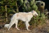 Russian wolfhound dog — Stock Photo