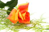 Red with orange rose — Stock Photo