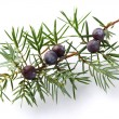 Juniper twig with berry — Stock Photo #62674955
