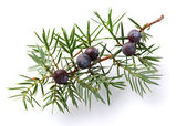 Juniper twig with berry — Stockfoto