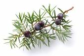 Juniper twig with berry — Stock Photo