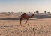 çölde deve — Foto de Stock