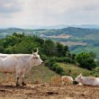 Landscape in Tuscany with cows — Stock Photo #66299817
