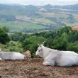 Cows on the hilly landscape — Stock Photo #70284069