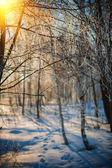 Frosted twigs of birch tree  at sunset — Stock Photo