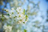 Small branch of cherry tree — Stock Photo